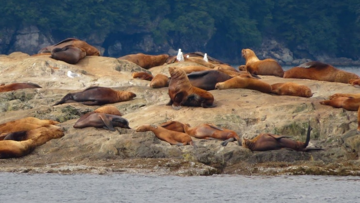 Group of light brown Steller sea lions lay around on a rock beside calm water, seen during a Kenai Fjords National Park cruise.