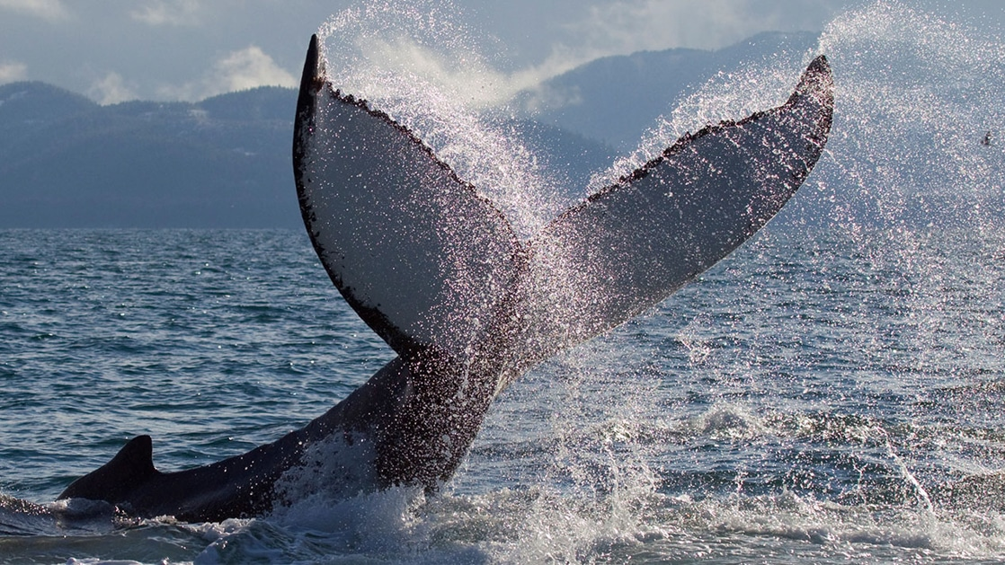 Fluke of a black & white orca's tail sprays water behind it as the whale dives back underwater, on a Kenai Fjords National Park cruise.