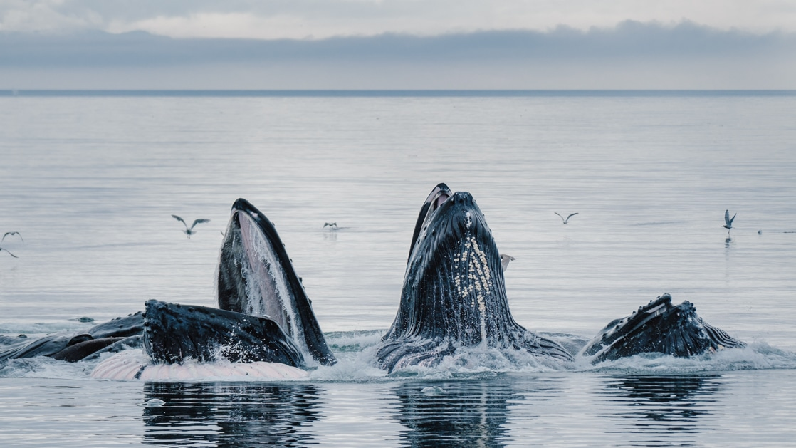 3 humpback whales bubblenet feed, reaching open mouths out of the water on a hazy day during the Wild & Wooly Alaska Cruise.