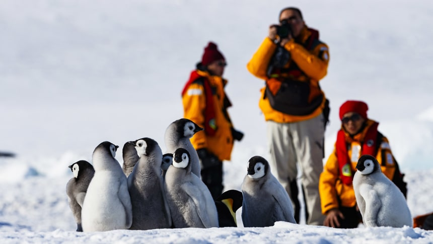 Three Antarctica cruise guests wear yellow parks and take photos of a group of fuzzy grey black and white emperor penguin chicks