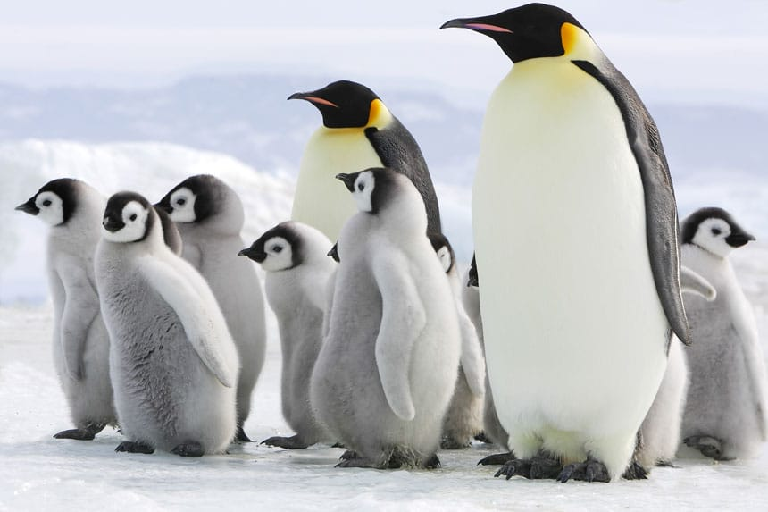 2 adult emperor penguins with white chests, black heads & orange & yellow necks stand with gray baby chicks at Snow Hill Island in the Weddell Sea, one of the places in Antarctica.