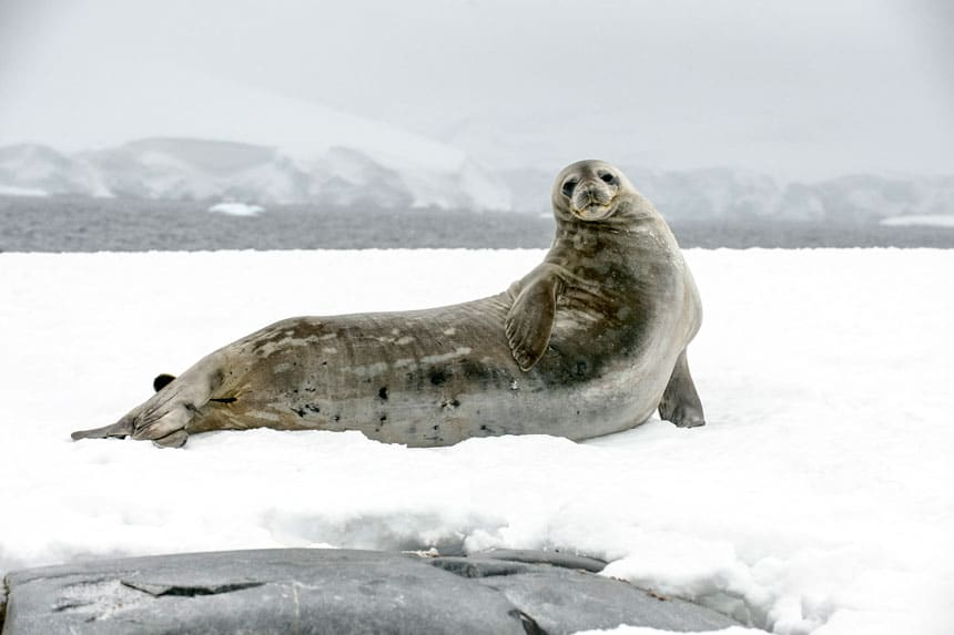 large, long weddell seal with gray spotted skin sits atop the snow on a foggy day in Antarctica