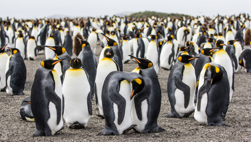 Large colony of king penguins with silver backs, white fronts, & black & orange heads & beaks stands on a rocky beach at Salisbury Plain, South Georgia.
