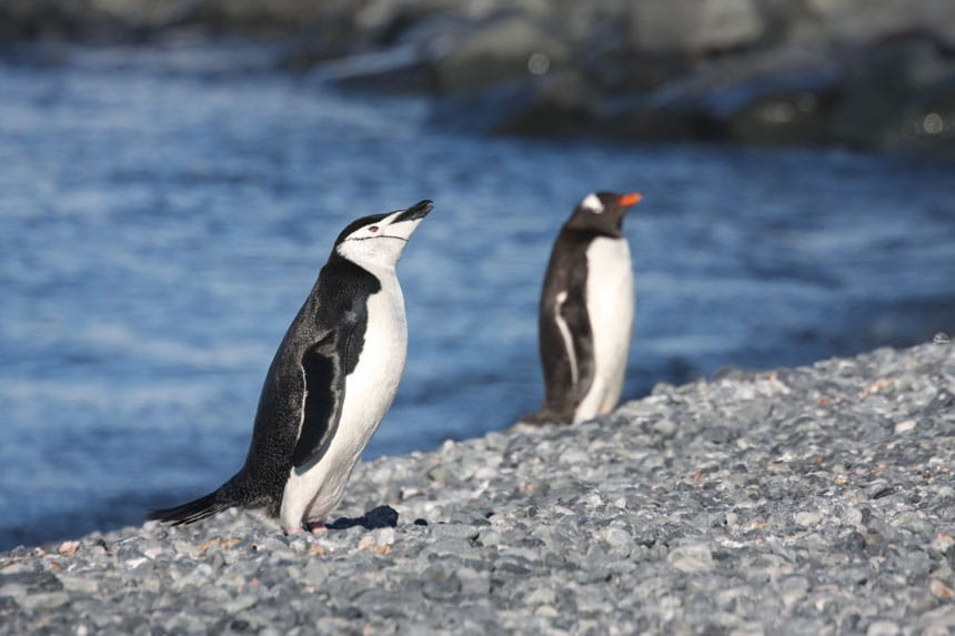 a chinstrap & a gentoo penguin stands by water on a rocky shoreline, the former with a white chin & black beak the latter with black chin & an orange beak.