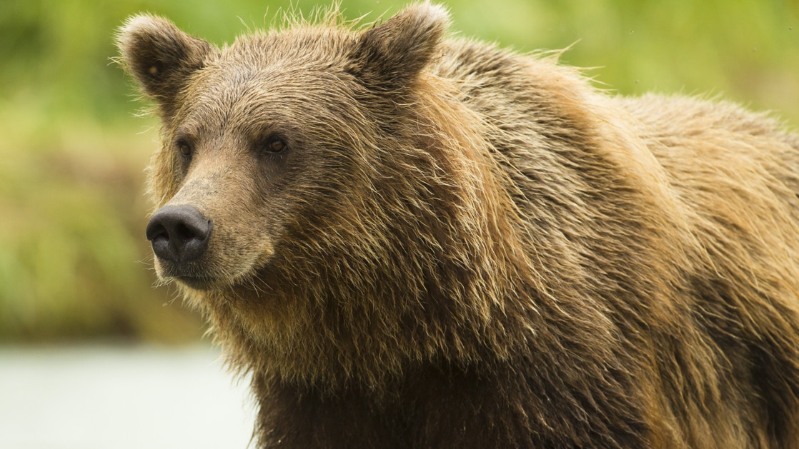 Close up of large brown grizzly bear with blurry green background, seen during the Alaska Odyssey small ship cruise.