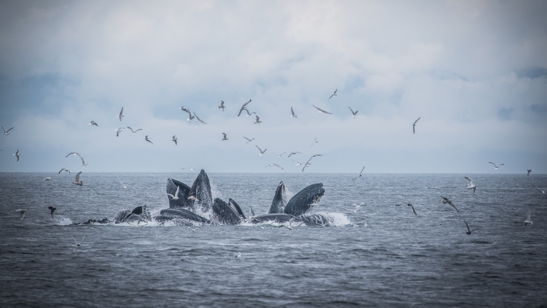 Pod of whales breach above the water, bubblenet feeding, as birds fly above on a cloudy day during the Alaska Odyssey cruise.