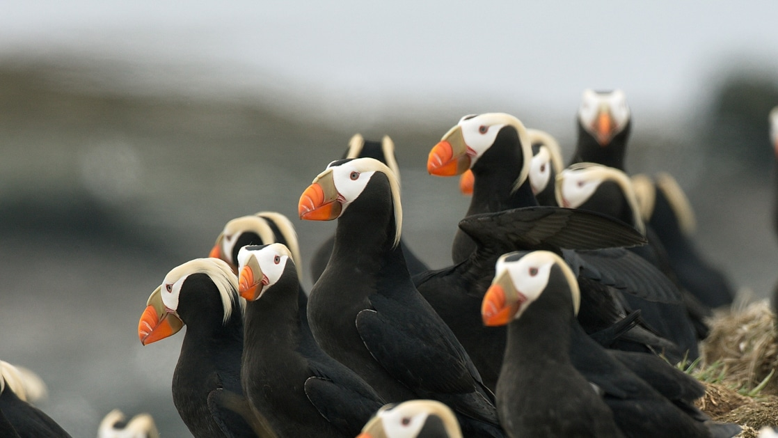 A group of tufted puffins with black bodies, white heads, yellow hair & orange beaks stands together, seen on an Alaska to Japan cruise.