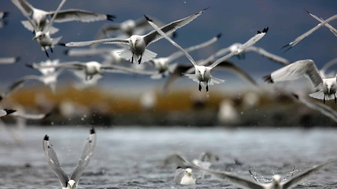 Flock of white seabirds flies above calm water during the Aleutian Islands Odyssey, an Alaska to Japan cruise.