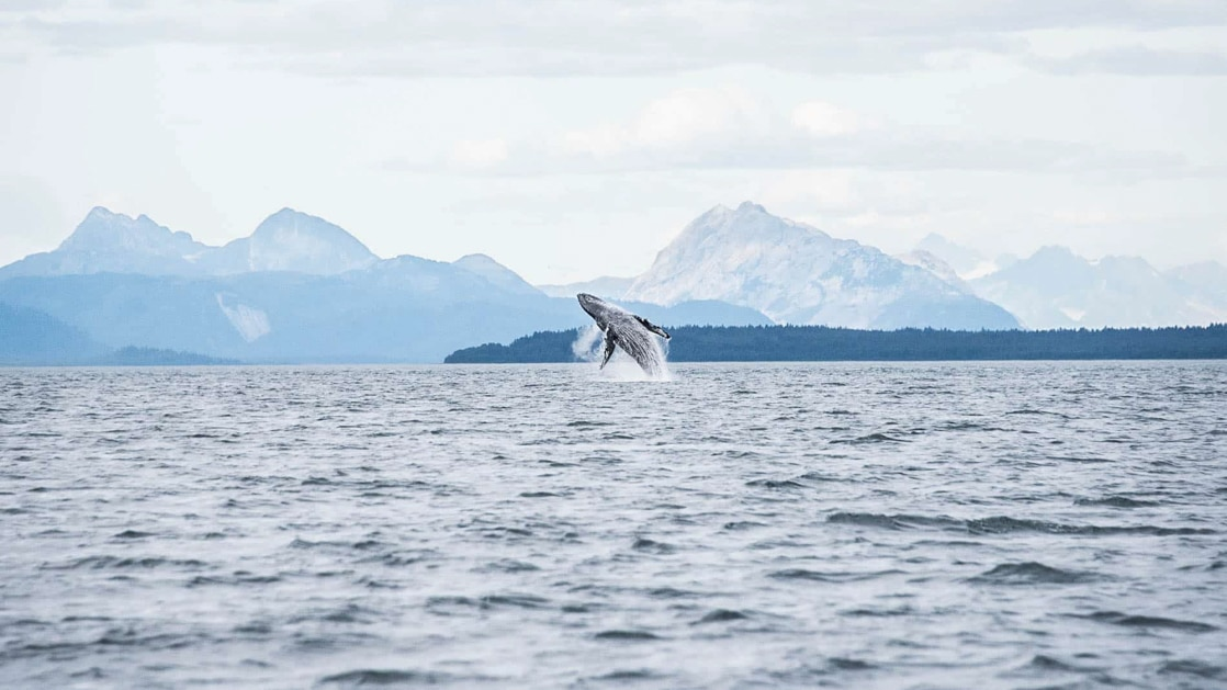 Waterline view of humpback whale breaching out of calm waters on a hazy day in Alaska, seen during the Aleutian Islands Odyssey.