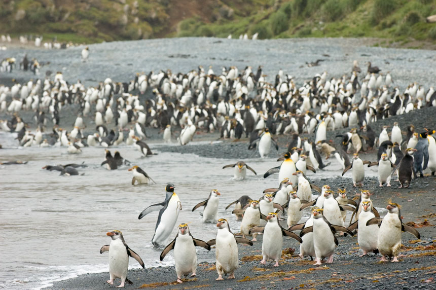 Hundreds of royal penguins with bright yellow eyebrows walk along a pebbled beach with a few king penguins mixed in, at Macquarie Island.