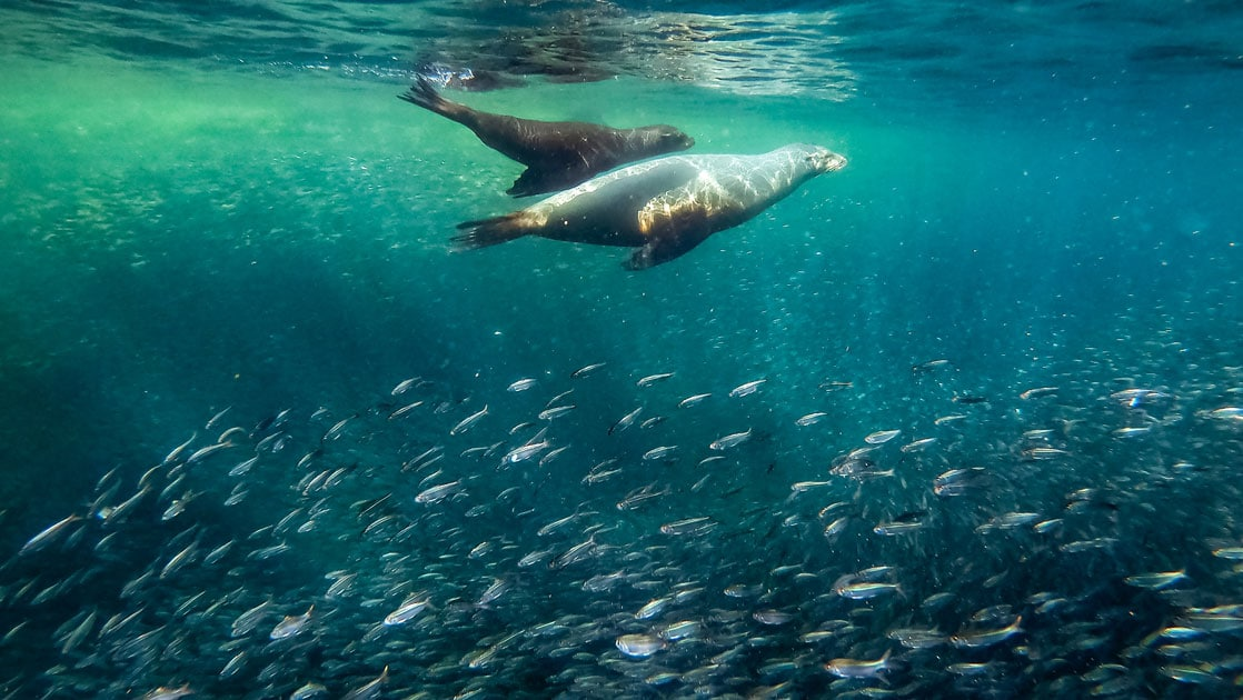 A pair of sea lions swim above a silvery school of fish in turquoise green waters during the Baja California & Sea of Cortez Odyssey.