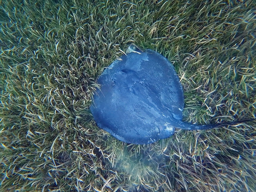 An underwater photo in Belize of a gray blue ray with a long tail swimming on the green grassy sea floor.