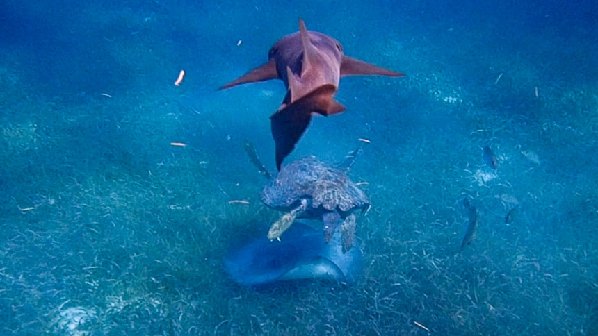 All seen at once, a ray, a sea turtle and a nurse shark swim over each other above the green grassy sea floor of Belize.