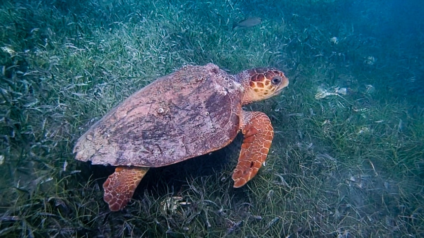 A orange and brown sea turtle swims among green grassy ocean floor in the ocean of Belize.
