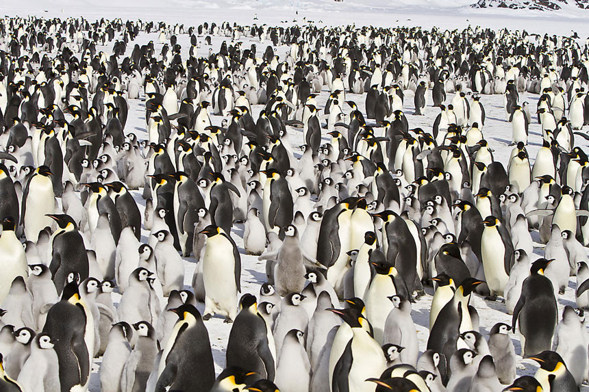 A snow field littered with walking emperor penguins, the adults with white chests & silver back & black heads & the chicks in various shades of gray.