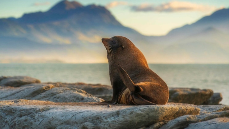 Small brown fur seal sits atop a smooth rock outcrop overlooking calm water at sunset with mountains in the distance.