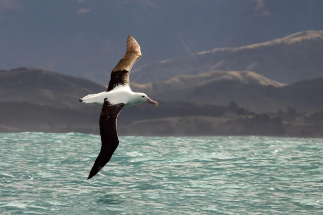 Royal albatross bird with seagull-like head & body but wide brown wings soars above turquoise water with hills in the distance.