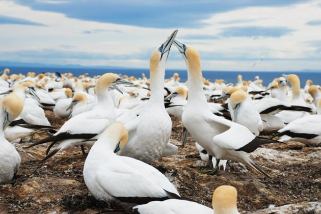 Flock of white birds rest on shore under blue skies with 2 rubbing beaks, seen during the National Geographic New Zealand Cruise.