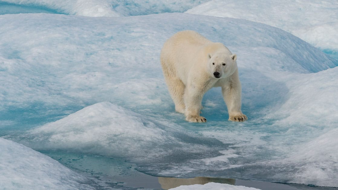 Large white polar bear stands atop blue ice & white snow during Le Commandant Charcot Northeast Greenland Voyages.