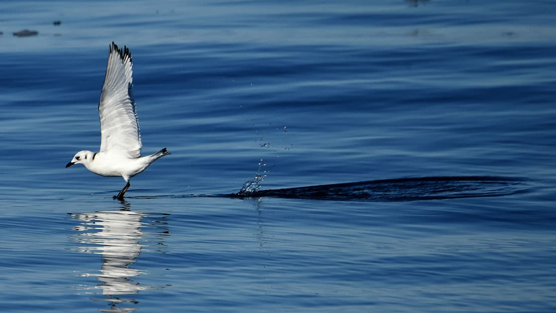 White sea bird takes off from deep blue water during Le Commandant Charcot Northeast Greenland Voyages.