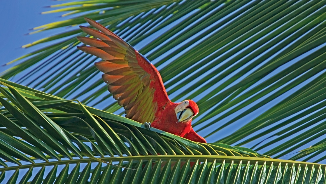 A bright red, yellow and orange macaw bird stretches its wings as it perches on a green palm tree leaf in Costa Rica.