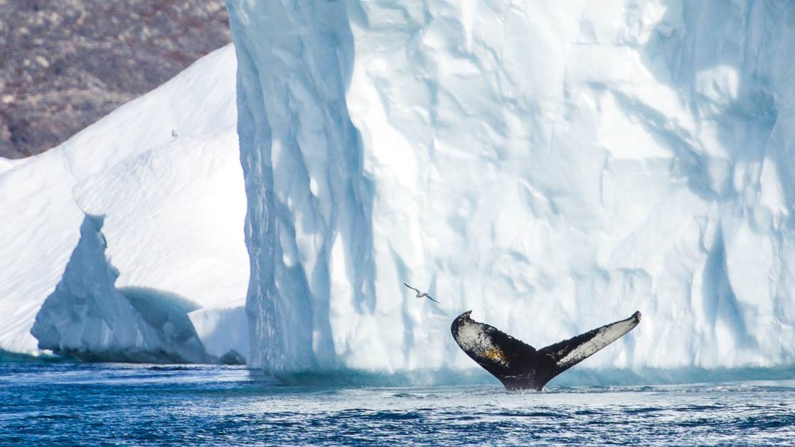 Whale fluke slips back into the water in front of a large white iceberg, seen during a sunny day on the Wild Greenland Escape voyage.