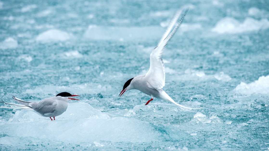 2 small arctic tern birds with long, skinny white wings stand atop chunky blue ice, seen on Le Commandant Charcot Svalbard Voyages.