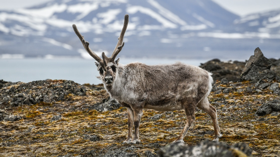 Arctic reindeer with brown shaggy fur & tall horns stands among green & yellow tundra with a body of water in the distance.